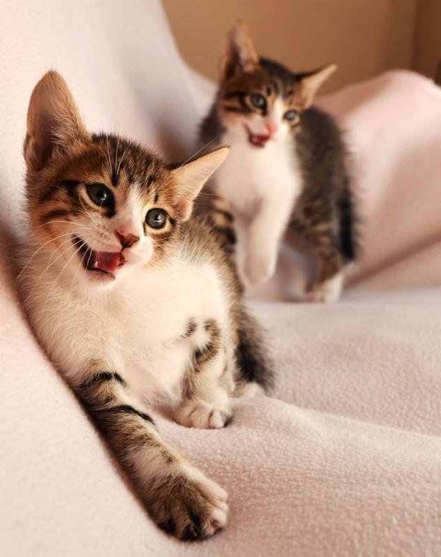 Onde Comprar Vacina para Gatos Campinas - Vacina Imunologia Veterinária