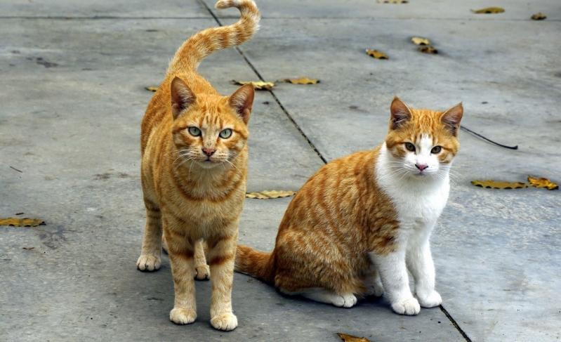 Vacina para Gatos Jardim Campinas - Vacina Veterinária